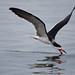 Black Skimmer - Photo (c) Nick Chill, some rights reserved (CC BY-NC-ND)