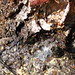 Small photo of Birch Sap