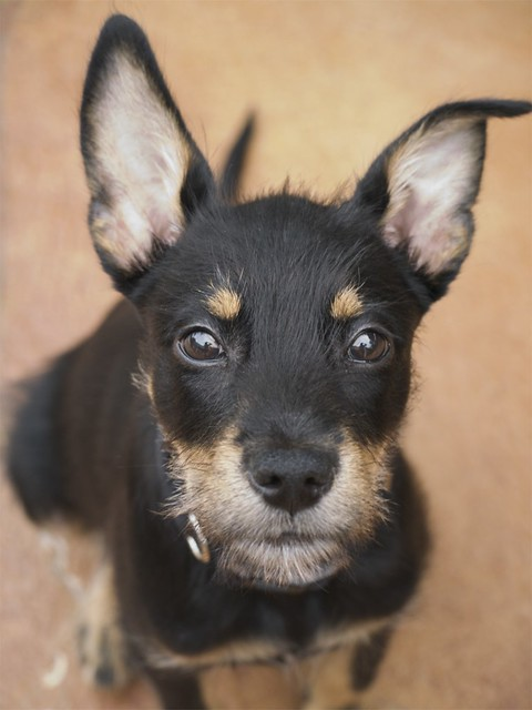 Rex Italian Greyhound Husky Mix Flickr Photo Sharing