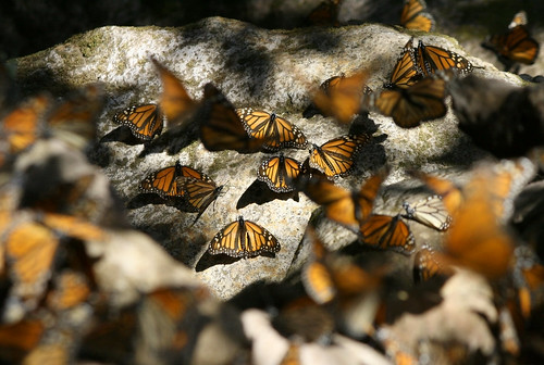 Monarchs resting on rocks