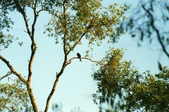 Air cleanser, Crested Drongo in Tamarind tree
