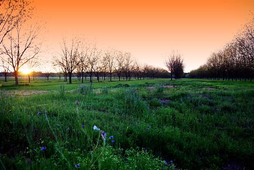 trees sunset sun green field grass grove pecan barren blueflowers pecangrove