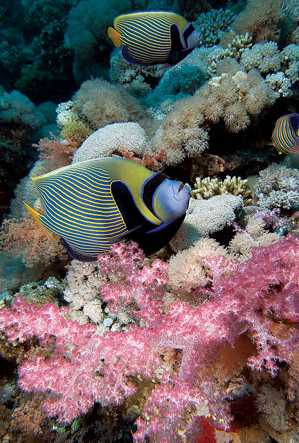 Angelfish flickr photo sharing for 405 tropical fish