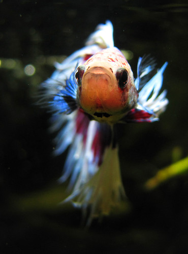 Top 7 betta fish myths don t make these common mistakes for Betta fish personality