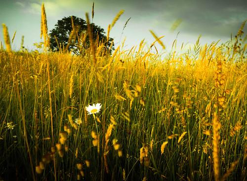 flower wiese gras blume baum burgenland strem
