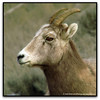 A Female Rocky Mountain Big Horn Sheep by westrock-bob