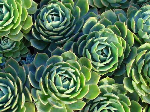Echeveria secunda by mondomuse