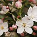 Crabapple and Pear Tree Blossoms (2009)