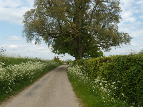 Lane with Cow Parsley