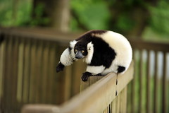 animal, zoo, fauna, lemur,