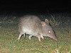 Bandicoots - Photo (c) GregTheBusker, some rights reserved (CC BY)