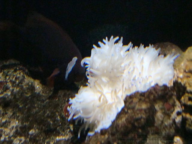 Tomato clownfish anemone - photo#14