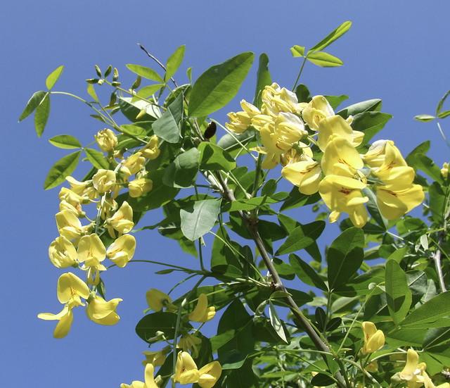 Laburnum alpinum