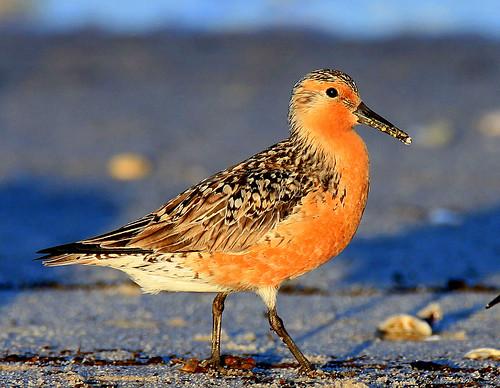 bird birds sunrise capemay shorebirds capemaynj reedsbeach redknot calidriscanutus featheryfriday specanimal birdsofnewjersey