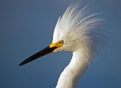 sky bird nature water animal closeup outdoors looking display florida wildlife watching feathers baitshop angry sarasota staring egret avian chasing snowyegret plumage sarasotabay hartslanding theunforgettablepictures 100commentgroup michaelskelton michaeldskelton michaeldskeltonphotography