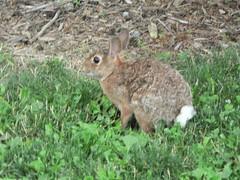 animal, grass, rabbit, domestic rabbit, pet, fauna, wood rabbit, rabits and hares, wildlife,