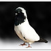 Ali s Tarzan pigeon,this is for you sukhan jeeee