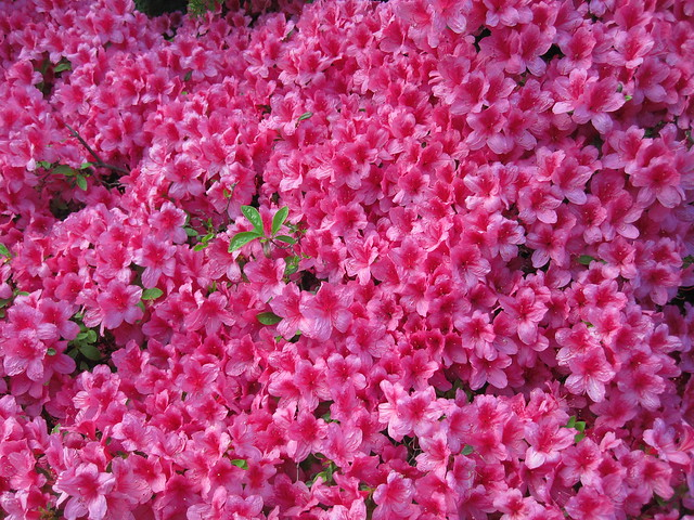 Bountiful blossoms on an azalea in the Osborne Garden. Photo by Rebecca Bullene.