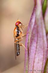 Psilid fly on Violet Helleborine