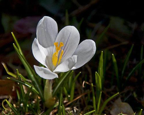 first crocus by Alida's Photos