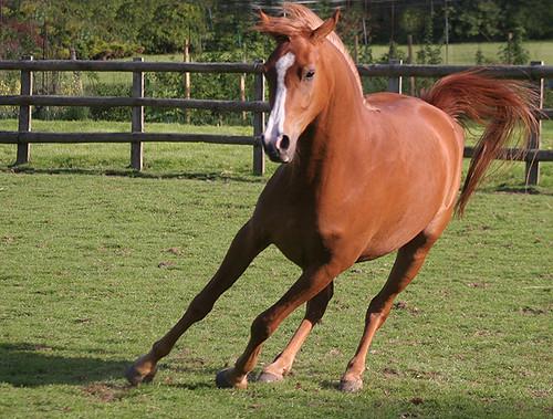 Chestnut arabian horses - photo#23