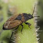 ugarbodobács - Trapezonotus arenarius