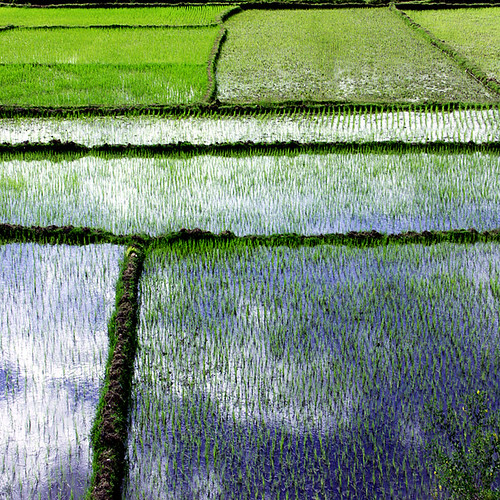 RIZIERE #14 / RICE FIELD #14