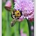 Bumble Bee on Flower by Ken Lemon