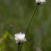 Small photo of Common cottongrass