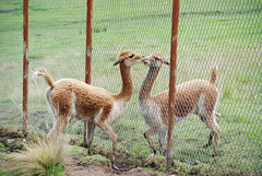 guanaco(0.0), wildlife(0.0), animal(1.0), zoo(1.0), fauna(1.0), vicuã±a(1.0), camel-like mammal(1.0),