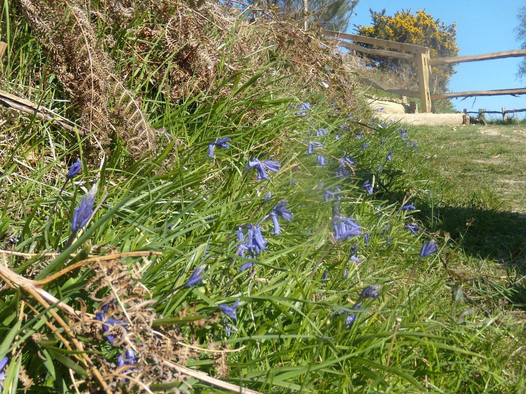 Bluebells Rye to Hastings