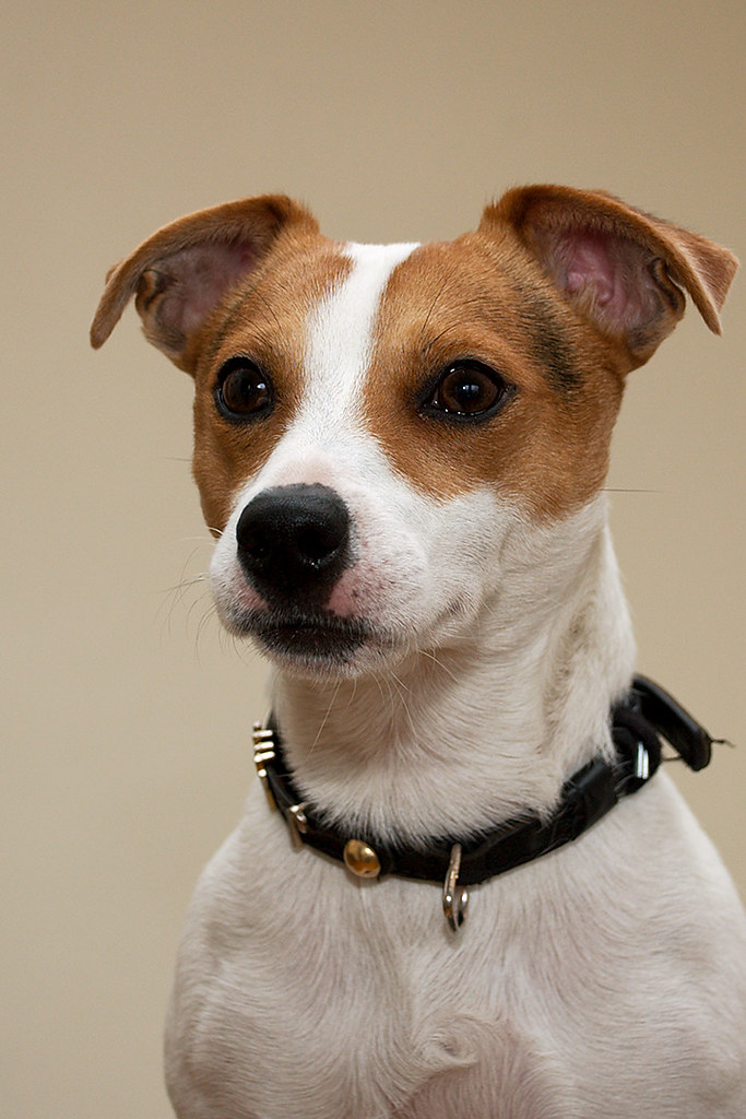 Jack - The Jack Russell Terrier