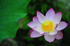 Lotus 荷  2010-2011