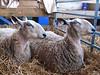sheep7