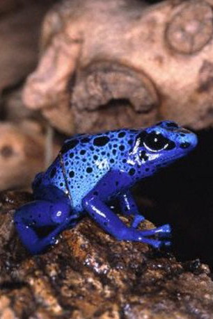 poison_arrow_dart_frog