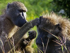 Monkey behavior, Ear Inspection