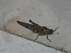 moth(0.0), arthropod(1.0), locust(1.0), animal(1.0), cricket(1.0), wing(1.0), invertebrate(1.0), insect(1.0), grasshopper(1.0), fauna(1.0),