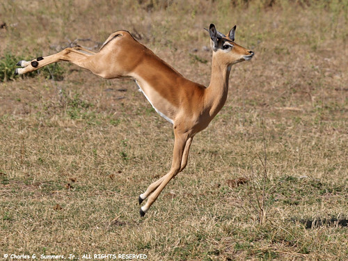 Young Impala Ram bounding in play 0R7E2123