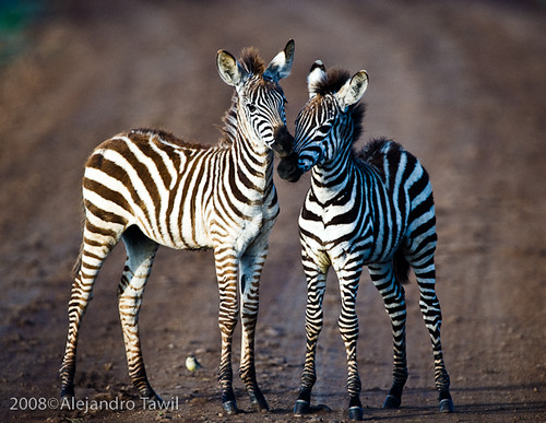 Dashing dasher baby zebras