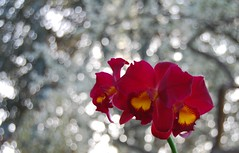 Red Orchid Three