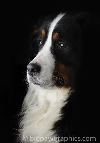 bernese moutain dog head shot