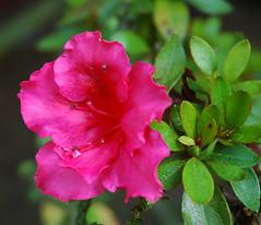 annual plant, flower, plant, macro photography, flora, pink, petal, azalea,
