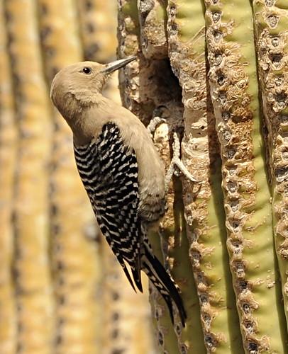 Gila Woodpecker on Saguaro-closeup