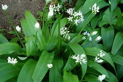 lily(0.0), flower(1.0), hymenocallis littoralis(1.0), plant(1.0), flora(1.0), green(1.0), ramsons(1.0),