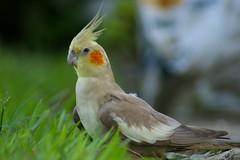 cockatoo(1.0), animal(1.0), parrot(1.0), wing(1.0), fauna(1.0), finch(1.0), cockatiel(1.0), beak(1.0), bird(1.0), wildlife(1.0),