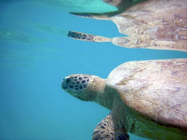 Snorkeling around turtles