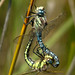 Hairy Dragonfly - Photo (c) Roque 141, some rights reserved (CC BY-NC)