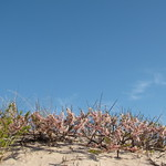 Pink dune flowers, Fire Island National Seashore