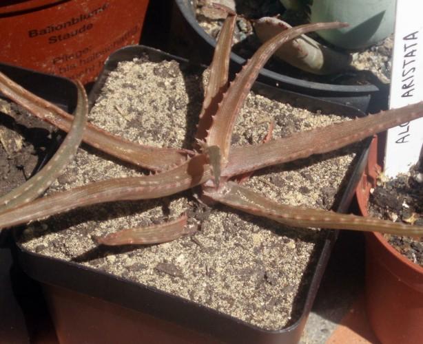 Aloe bakeri 3595133472_26f34d0f12_o
