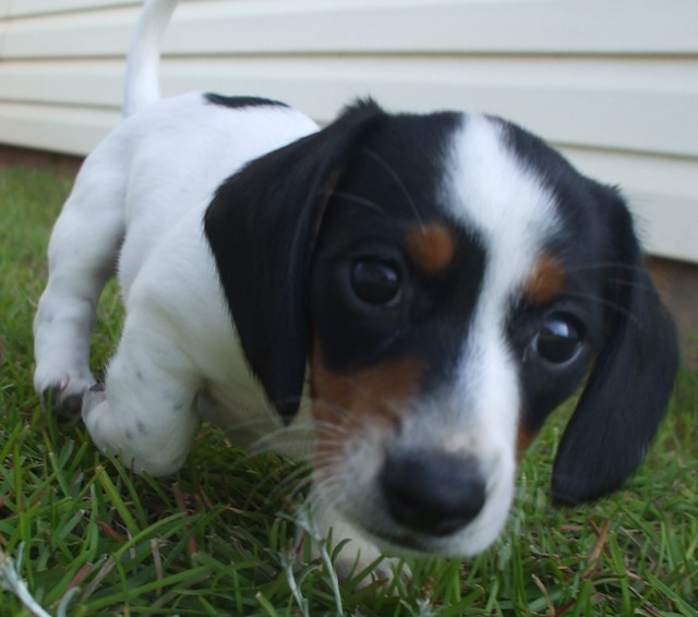 pup#6 extreme piebald dachshund puppy | Flickr - Photo Sharing!